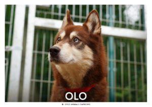 brązowy pies w typie husky